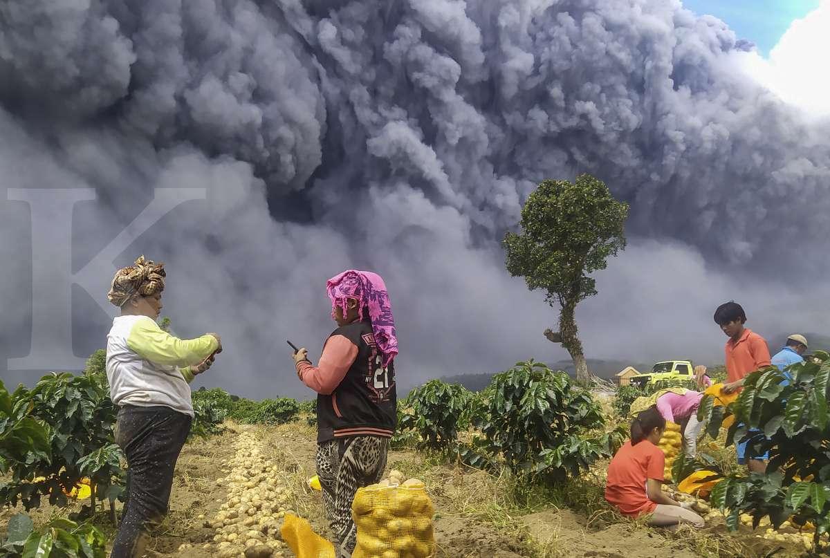 Gunung Sinabung meletus, panen kentang jalan terus