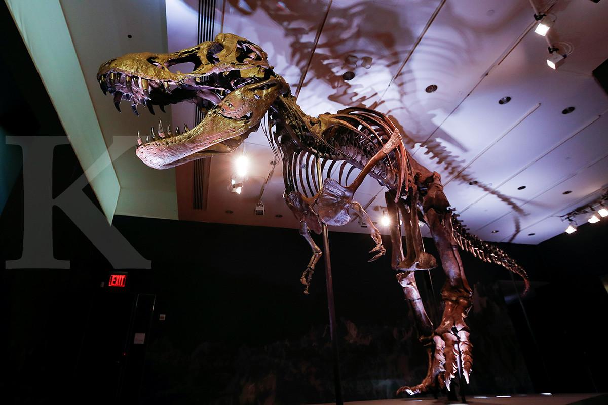 Kerangka T-Rex ini siap dilelang Rp 118 miliar